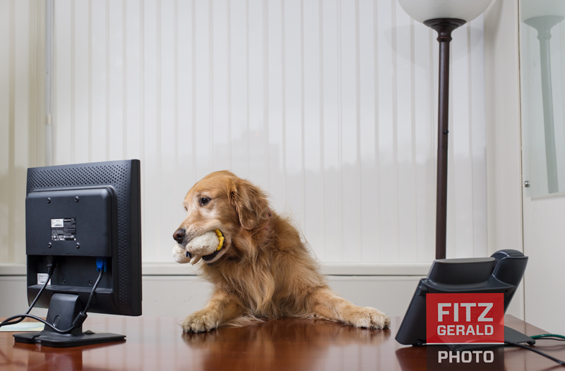 The concept was to photograph pets in an incongruous setting--in this case, a professional office environment--which could easily illustrate the perils of Take Your Pet to Work Day.